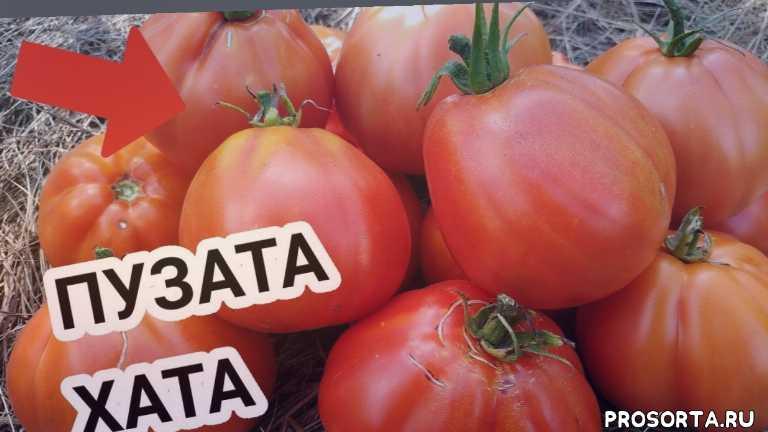 томаты для теплиц, вкусные томаты, пузата хата, дегустация томатов, дегустация, обзор томата, фирма аелита, аелита