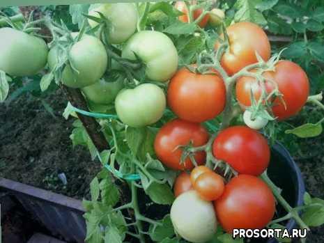 теплица, томаты 2018, раннеспелый гибрид катя томаты 2018, томат катя f1 отзыв