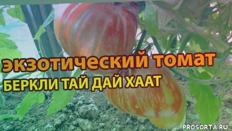 сорта черных томатов, семена черных томатов, черные томаты, томаты для открытого грунта, сорта томатов, лучшие сорта томатов, урожайные томаты, продажа семян томатов