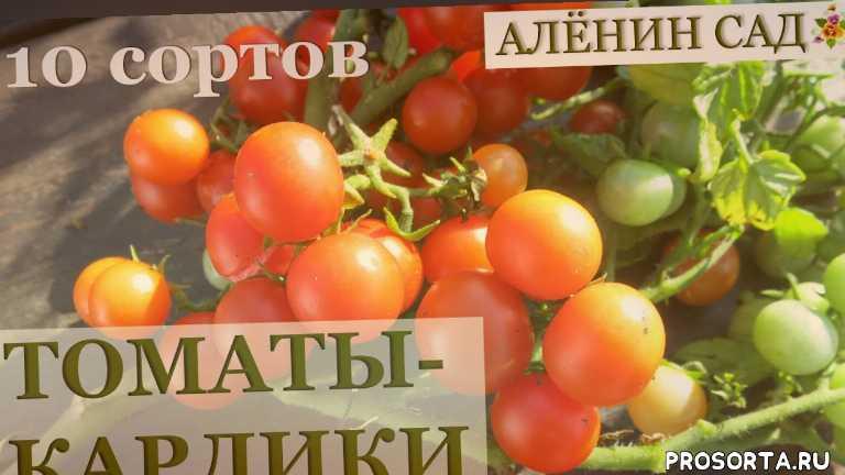 особенности выращивания, аленин сад, мини томаты, карликовые томаты, микро томаты