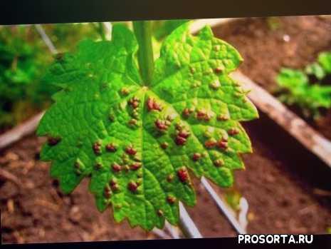 защита винограда, обработка винограда от болезней, лечение винограда, виноград весна обработка, виноград защита, обрабатывать виноград, защита винограда от болезней и вредителей, весна болезнь