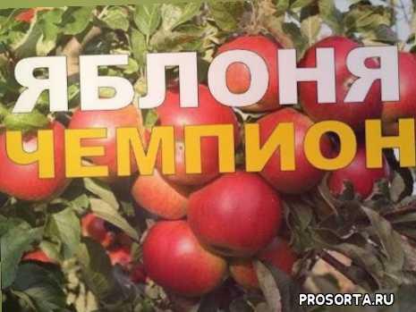 шампион, чешский сорт яблони, яблоня чемпион ред, чемпион арно, чемпион рено, яблоня чемпион, агротехника, саженцы