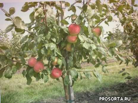 саженцы плодовах, сорта яблок, описание яблони, яблоня, дачник, садоводство, сад, дача