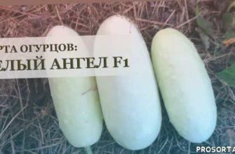 аленин сад, гибриды огурцов, сорта огурцов, белый ангел