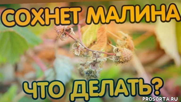 уход за малиной, малина выращивание и уход, сад огород, дача, малина заболела, малина желтеет, малина 2020, сохнет малина что делать