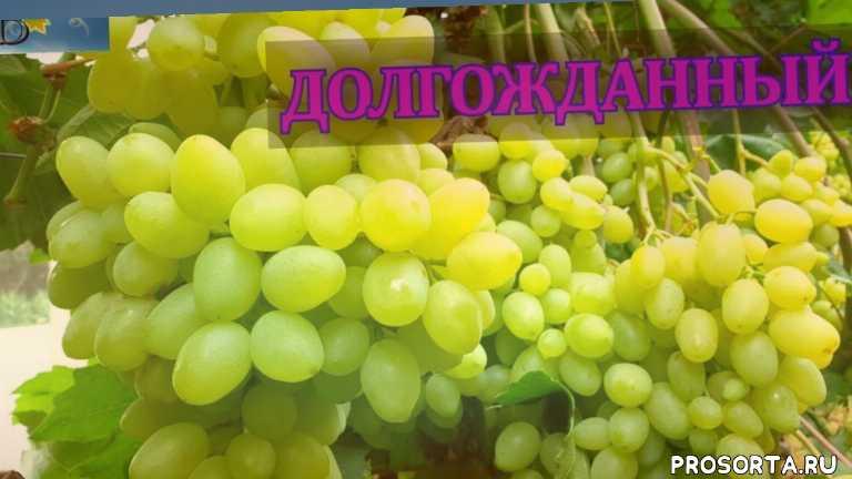 вино, виноделие, виноградарство, сорта для рынка, лоза, grapes, виноградов, сорта винограда