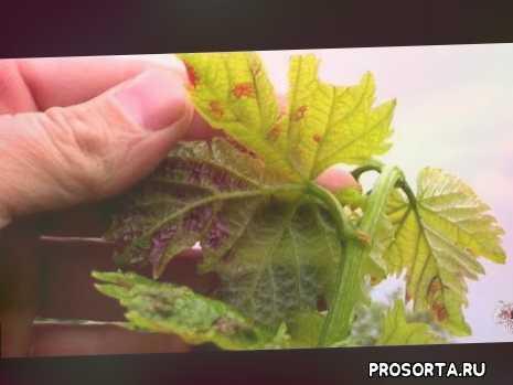 клещ на винограде, выращивание, вредители, клещ, виноградный клещ и борьба с ним, как бороться с виноградным клещом, зудень борьба, виноград паутинный клещ