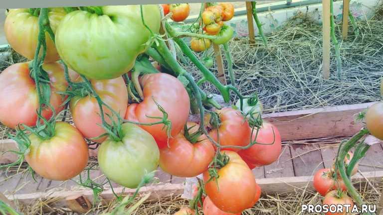 сибирский сад сорт батяня, характеристика томата батяня, сорт томата батяня, сезон 2020 года, выращивание томата батяня, томат батяня