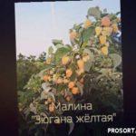 """Малина """"Зюгана жёлтая"""" - СУПЕР СОРТ"""