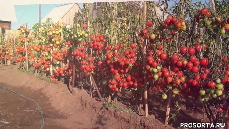 чудо сибири, 10 самых урожайных сортов томатов, обзор лучших томатов для открытого грунта, обзор томатов для открытого грута в сиьири, 10 лучших сортов для открытого грунта, два ведра с куста, чудо сибири, забайкальское чудо