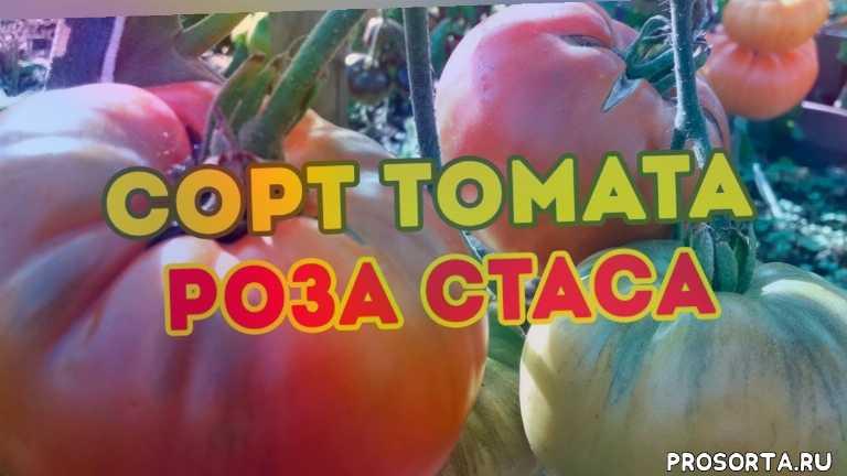 продажа семян томатов, семена помидор на рассаду, помидор роза стаса, новые сорта томатов 2020, выращивание томатов, сорта томатов, урожайные томаты, семена томатов
