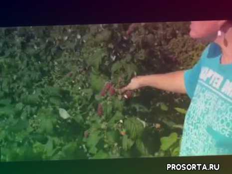 малина полька, малина полана, малина зева, урожайная малина, малина в средней полосе россии, ремонтантная малина