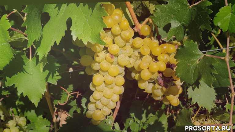 сорт, сорта винограда, дружба, виноград дружба, виноградник, виноград