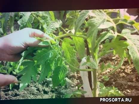 урожайный огород, способ, выращивание, правила, как вырастить томаты, как посадить томаты, когда сажать томаты, рассада томатов