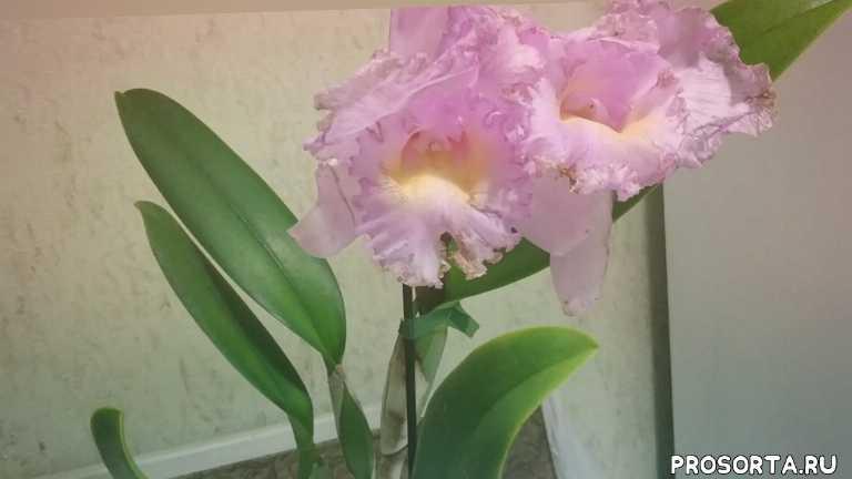 псевдобульбы, просушка, период покоя, бульбы, росты, орхидея, каттлея
