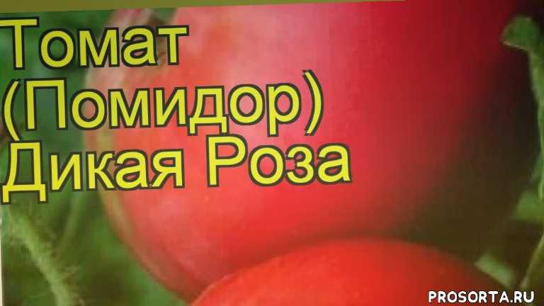 томат обыкновенный дикая роза уход, томат обыкновенный дикая роза посадка, томат обыкновенный дикая роза отзывы, где купить семена томат обыкновенный дикая роза, купить семена томата дикая роза, семена томат обыкновенный дикая роза, видео томат обыкновенный дикая роза, томат обыкновенный дикая роза описание характеристик