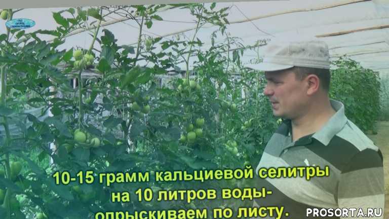 лечение вершинной гнили, вершинная гниль томатов, выращивание помидоров, помидоры, томаты