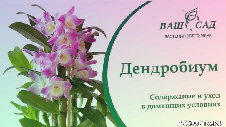 орхидея дендробиум пересадка, размножение денробиум, удобрение орхидей, dendrobium, dendrobium nobile, субстрат для дендробиума, полив дендробиума, как ухаживать за дендробиумом