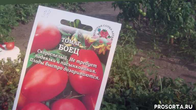 теплица, гибрид, сорт, сорт гибрид, томат, купить