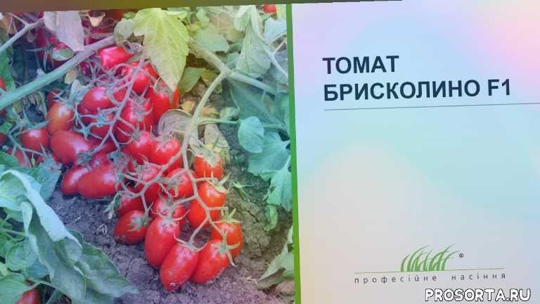 семена томата, семена, еда, агроном, бахча, поле, сельское хозяйство, помидор