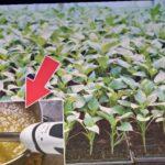 Взрывной рост рассады перца гарантирован с этой подкормкой! Чем подкормить рассаду перца?
