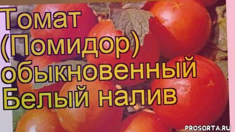 томат обыкновенный белый налив посадка, томат обыкновенный белый налив отзывы, где купить саженцы томат обыкновенный белый налив, купить саженцы томата белый налив, саженцы томат обыкновенный белый налив, видео томат обыкновенный белый налив, томат обыкновенный белый налив описание характеристик, краткий обзор томат обыкновенный белый налив