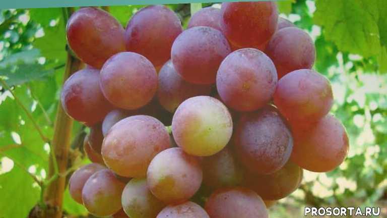 table grapes, grapes, food (tv genre), vitis (organism classification), комплексно-устойчивый, мускат, крупная, розовая