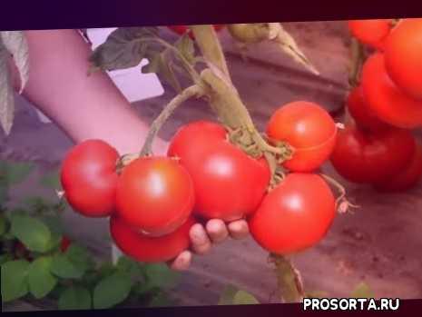 посадка рассады томатов, посадка рассады помидоров, посадка рассады, рассада в улитке, посадка в улитку, томаты на рассаду, томаты в теплице, сорта томатов