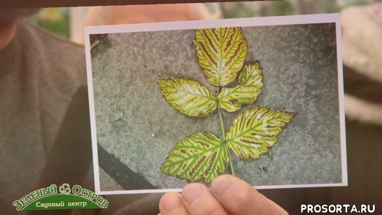 пятна на листьях малины, сидельников, огород, саженцы, посадочный, зеленый остров, садовый центр