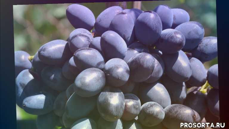 виноградник сергея криули, виноград с ягодой которая нравится всем, виноград с очень вкусной ягодой, виноград с хрустящей ягодой, любимые сорта винограда, reliable grape variety, vintage grape variety, grapes codreanca