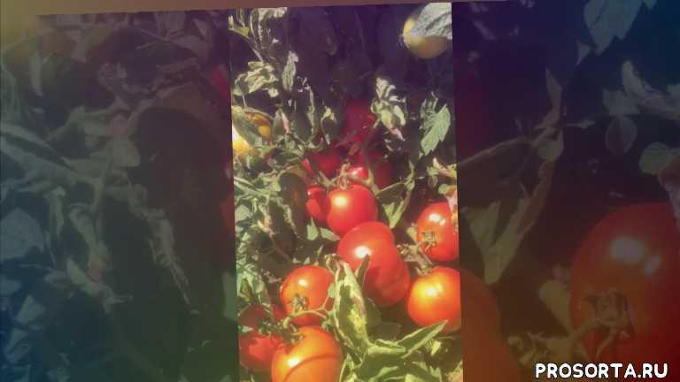 урожай, ранний, салатный, крупноплодный, помидор, томат, багира