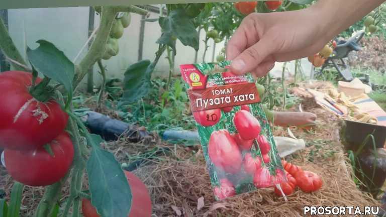 отзыв о томате, томат пузата хата