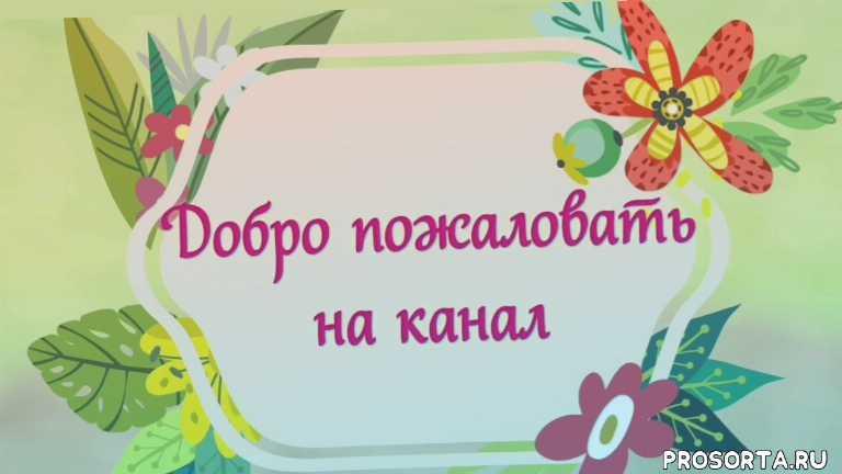 рассада, цветы, розы, свидание на кухне, зимний посев, прикоп, яровой чеснок, озимый чеснок