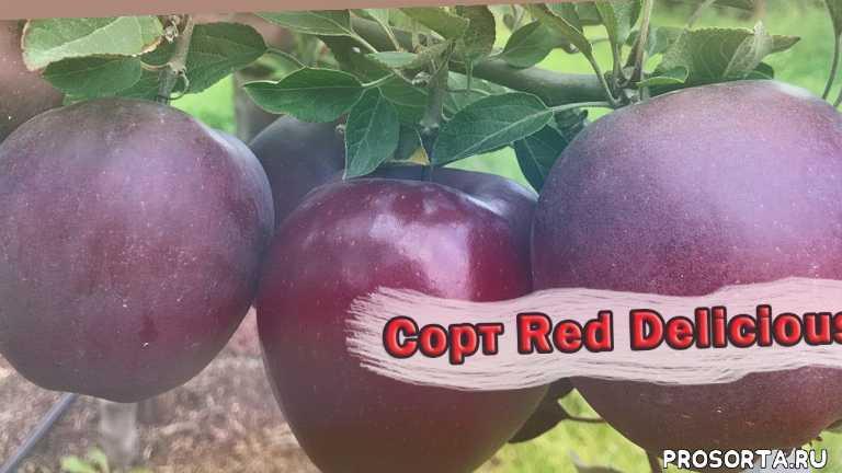 яблочки, яблоки, яблоня, сорт яблок, сорт, red delicious, ред делишес, дача