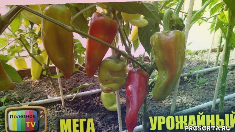 какой перец, какие перцы, сорта, болгарский ерец, сладкий перец, перец, урожайные сорта перца, лучшие сорта перца