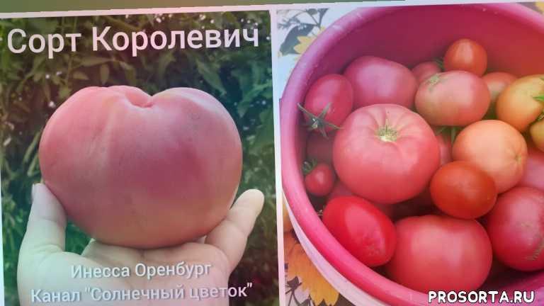 теплица, обзор, вкусные помидоры, хороший сорт, сорт томата, урожай, помидоры, томаты