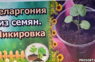 цветы, сеянцы пеларгонии, сад, татьяна огородница, татьяна огород, огород, урожайный, урожайный огород