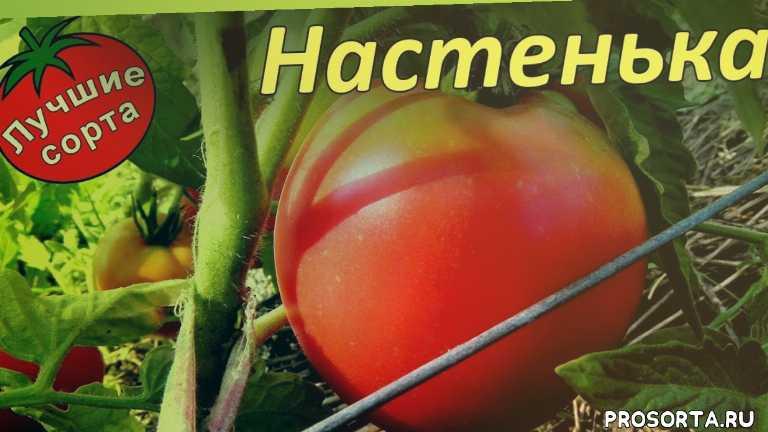лучшие сорта томатов для открытого грунта, лучшие томаты для открытого грунта, низкорослые сорта томатов для открытого грунта, низкорослые сорта томатов, сорта томатов для открытого грунта, томаты для открытого грунта, урожайные сорта томатов, урожайные томаты
