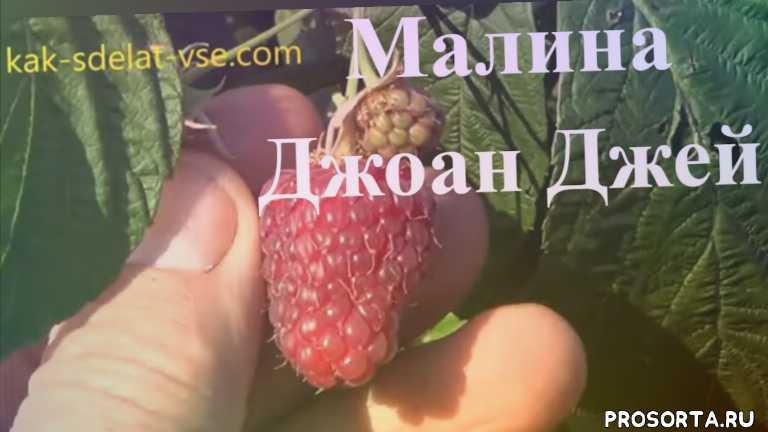 ягоды малины, витаминные продукты, ягоды, ягодные кустарники, журнал как сделать все самому, сорти малини, сорта малини, малина отзывы