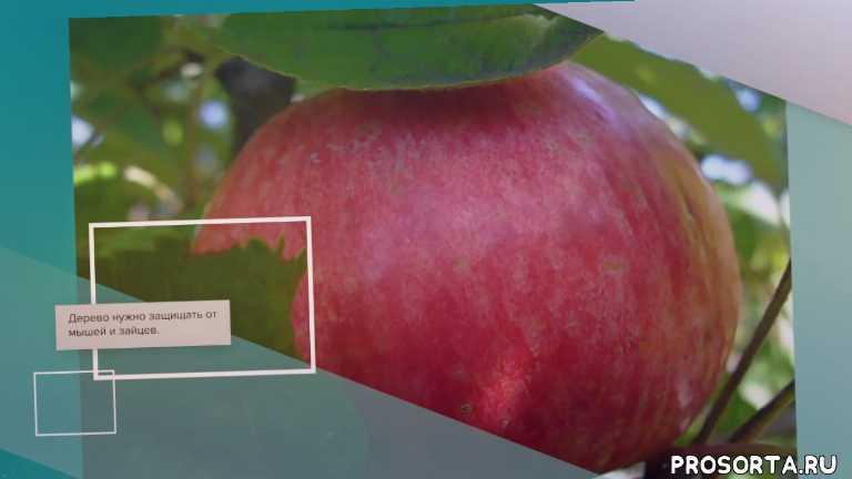 Яблоня Афродита - обзор сорта