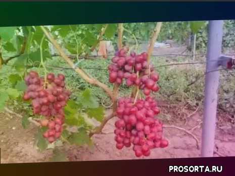 дюжина, виноград