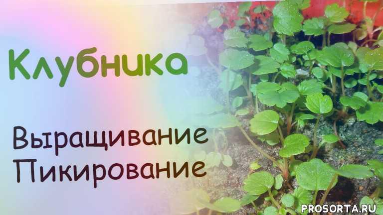татьяна башмакова, рассада клубники, пикирование клубники, клубника из семян, выращивание клубники