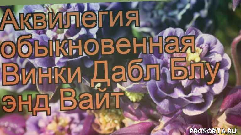 рассада, рассада аквилегии, красивоцветущие цветы, цветы, обыкновенная аквилегия винки дабл блу энд вайт обзор, обыкновенная аквилегия, обыкновенная аквилегия винки дабл блу энд вайт, винки дабл блу энд вайт обзор