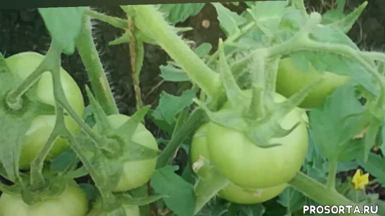 выращивание томатов, томат любаша, пасынки, лето, дача, огород, сад, помидоры
