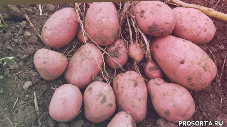 как выращивать картофель, садовый мир, сергей владимирович козлов, выкапывать картофель, сорта картофеля, урожайный картофель