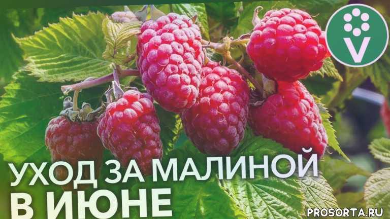 procvetok, процветок, поросль малины, чем подкормить малину летом, чем подкормить малину весной, чем обработать малину, цветение малины, малина в мае