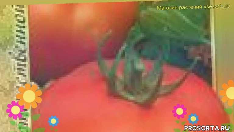 томат обыкновенный белый налив 241 отзывы, где купить семена томат обыкновенный белый налив 241, купить семена томата белый налив 241, семена томат обыкновенный белый налив 241, видео томат обыкновенный белый налив 241, томат обыкновенный белый налив 241 описание характеристик, краткий обзор томат обыкновенный белый налив 241, belyy naliv 241