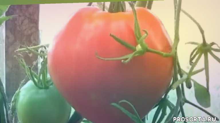 сорт, фото, характеристика, отзывы, описание, розовый, крупноплодный, лучшие помидоры в теплице