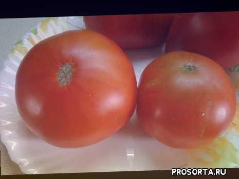 ольга чернова., дегустация, самые сладкие помидоры, сорт вечный зов, томаты, сад огород