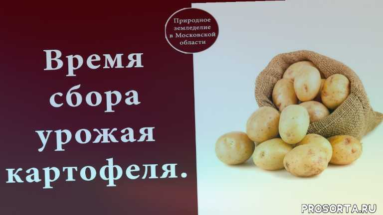potato, картофель, сбор урожая картофеля, картофель сбор урожая сроки, уборка картофеля, уборка картофеля видео, сроки уборки картофеля, уборка картофеля в сентябре